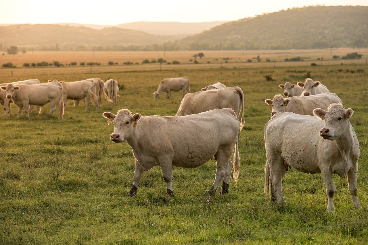 beef, pasture, agriculture
